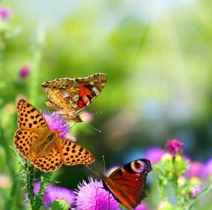 Butterflies-in-a-garden